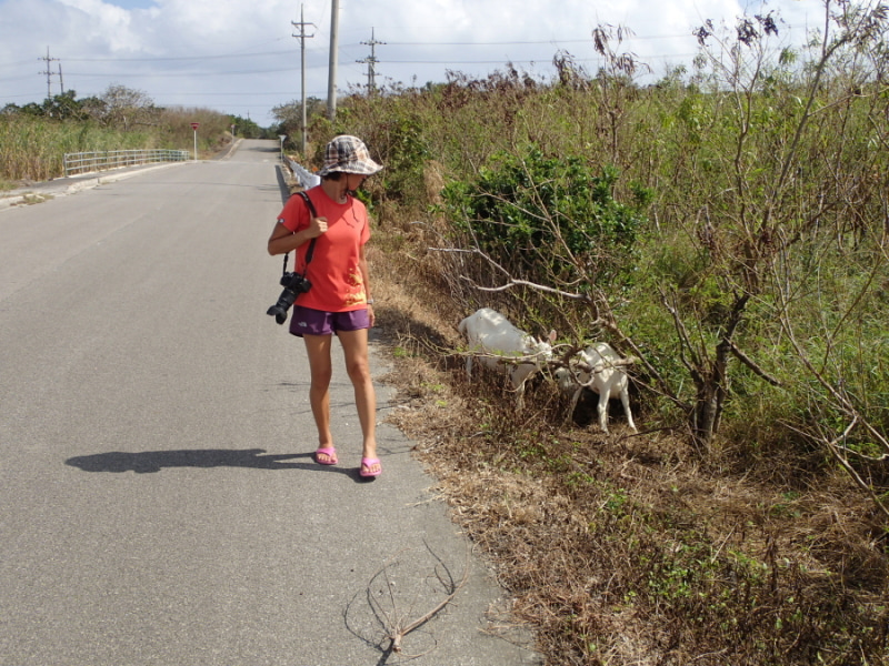 歩き人ふみの徒歩世界旅行 日本・台湾編-道端のヤギ