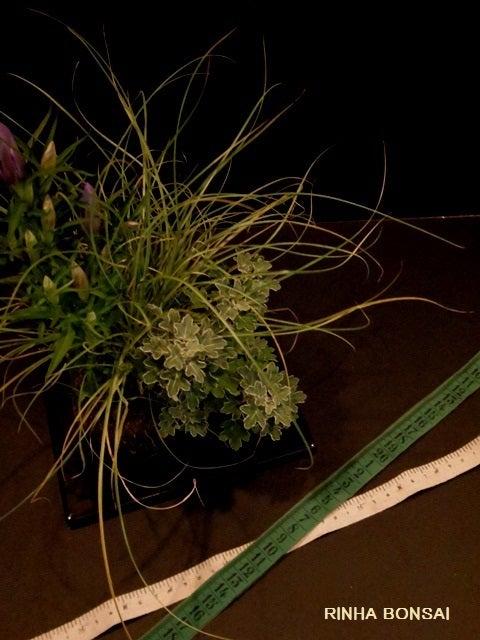 bonsai life      -盆栽のある暮らし- 東京の盆栽教室 琳葉(りんは)盆栽 RINHA BONSAI-琳葉盆栽 リンドウ 苔玉