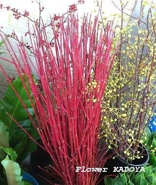 サンゴのような赤い枝~サンゴミズキ