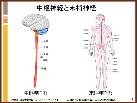 神経の分け方は?   介護につかえる体のしくみとはたらき