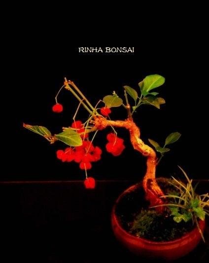 bonsai life      -盆栽のある暮らし- 東京の盆栽教室 琳葉(りんは)盆栽 RINHA BONSAI-琳葉盆栽 アカバナマユミ