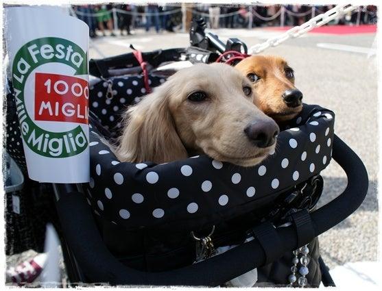旅犬Lani&Leaのほほん風船記-Mille Miglia2013