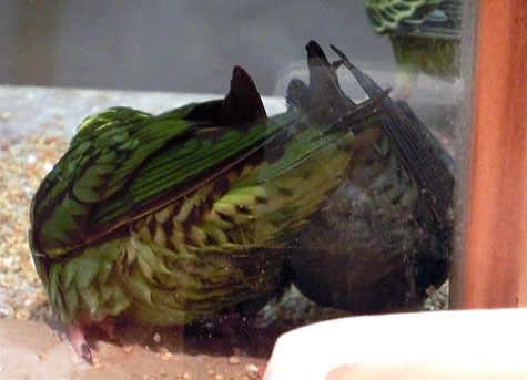 ようこそ!とりみカフェ!!~鳥カフェでの出来事や鳥写真~-サザナミインコのダブルOCR