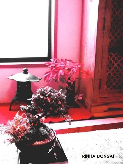 bonsai life      -盆栽のある暮らし- 東京の盆栽教室 琳葉(りんは)盆栽 RINHA BONSAI-コケモモカマツカ 琳葉 盆栽