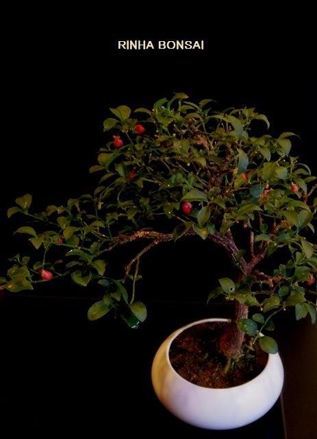 bonsai life      -盆栽のある暮らし- 東京の盆栽教室 琳葉(りんは)盆栽 RINHA BONSAI-琳葉盆栽 コマユミ