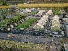 耕作放棄地を剣先スコップで畑に開拓!有機肥料を使い農薬無しで野菜を栽培する週2日の農作業記録 byウッチー-131028ウッチー式・今日の農作業の出来栄え03