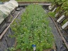 耕作放棄地を剣先スコップで畑に開拓!有機肥料を使い農薬無しで野菜を栽培する週2日の農作業記録 byウッチー-131029極早生たまねぎマッハ0909蒔き定植0