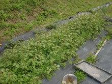 耕作放棄地を剣先スコップで畑に開拓!有機肥料を使い農薬無しで野菜を栽培する週2日の農作業記録 byウッチー-131029極早生玉葱チャージフォーカス0909蒔植0
