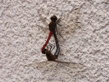 鴻巣の整体院ささき 整体よもやま話-赤とんぼの交尾