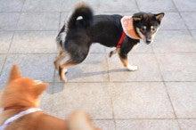 柴犬マルコがゆく!