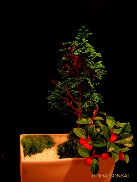 bonsai life      -盆栽のある暮らし- 東京の盆栽教室 琳葉(りんは)盆栽 RINHA BONSAI-琳葉盆栽 クリスマス ヒノキ ゴールテリア