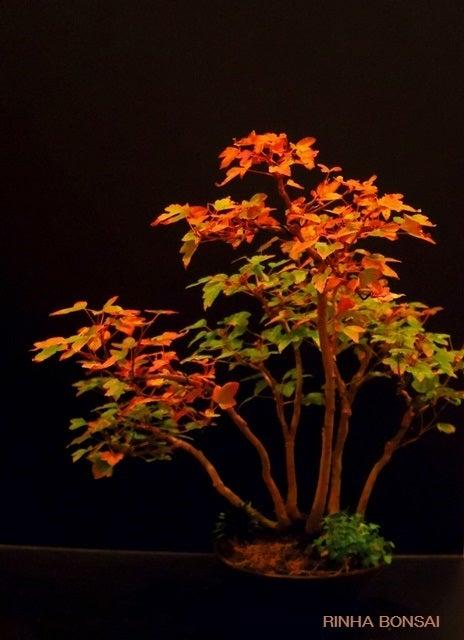 bonsai life      -盆栽のある暮らし- 東京の盆栽教室 琳葉(りんは)盆栽 RINHA BONSAI-琳葉盆栽 楓 紅葉
