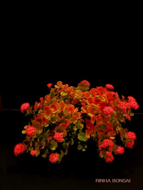 bonsai life      -盆栽のある暮らし- 東京の盆栽教室 琳葉(りんは)盆栽 RINHA BONSAI-琳葉盆栽 ヒダカミセバヤ