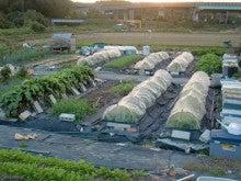 耕作放棄地を剣先スコップで畑に開拓!有機肥料を使い農薬無しで野菜を栽培する週2日の農作業記録 byウッチー-131112ウッチー式・今日の農作業の出来栄え03
