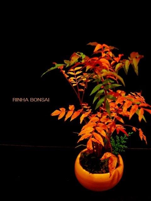 bonsai life      -盆栽のある暮らし- 東京の盆栽教室 琳葉(りんは)盆栽 RINHA BONSAI-琳葉盆栽 カイノキ