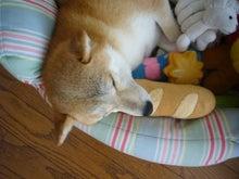 $東京柴犬日和-さくらのブログ-