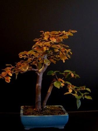 bonsai life      -盆栽のある暮らし- 東京の盆栽教室 琳葉(りんは)盆栽 RINHA BONSAI-琳葉盆栽 カリン