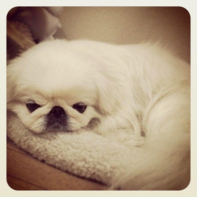 今日の一枚♪ 「お気に入りベッド」ペキニーズ写真 (instagram)|ペキニーズ Blog,白ペキニーズ シロ♂  白黒ペキニーズ クロ♀のフォトブログ