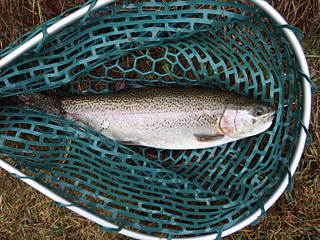 Dr.ミーヤンの下手っぴい釣りブログ-131123 45cmニジマス