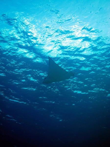 Audrey Diving Service ~海日誌~-マダラトビエイ