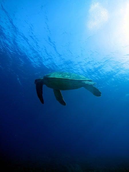 Audrey Diving Service ~海日誌~-アオウミガメ