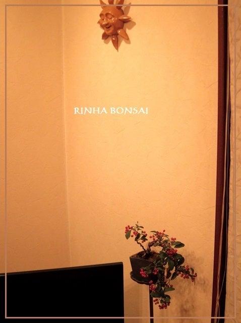 bonsai life      -盆栽のある暮らし- 東京の盆栽教室 琳葉(りんは)盆栽 RINHA BONSAI-琳葉盆栽 コトネアスター