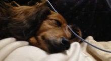 銀座ダックスダックス-ミニチュアダックスの画像