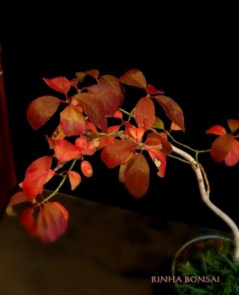 bonsai life      -盆栽のある暮らし- 東京の盆栽教室 琳葉(りんは)盆栽 RINHA BONSAI-琳葉盆栽 マユミ