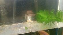 ♪ベランダ金魚♪
