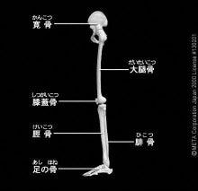 フルートとアレクサンダー・テクニーク              ~ココロもカラダも自由に自分らしく~-下肢の骨(横)