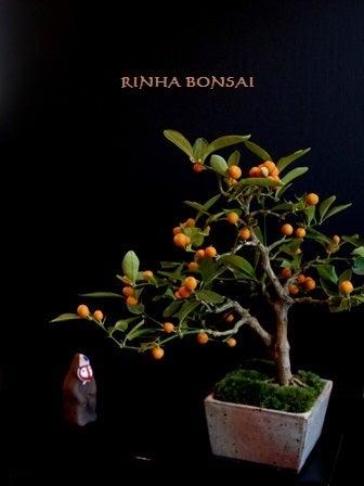 bonsai life      -盆栽のある暮らし- 東京の盆栽教室 琳葉(りんは)盆栽 RINHA BONSAI-金豆 キンズ 琳葉盆栽