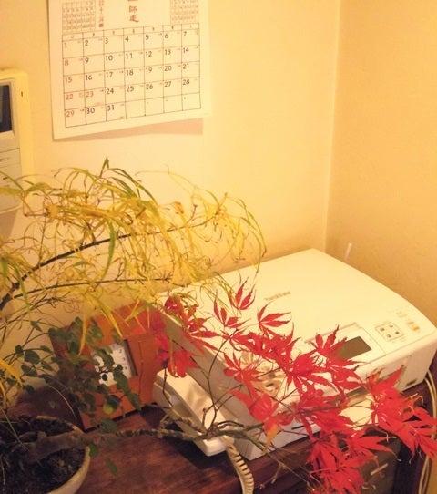 bonsai life      -盆栽のある暮らし- 東京の盆栽教室 琳葉(りんは)盆栽 RINHA BONSAI-琳葉盆栽 紅葉