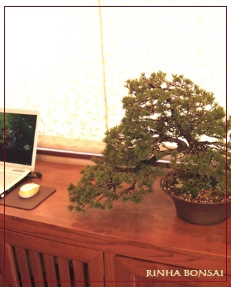 bonsai life      -盆栽のある暮らし- 東京の盆栽教室 琳葉(りんは)盆栽 RINHA BONSAI-琳葉盆栽 五葉松 瑞祥