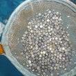 稚魚の輸入