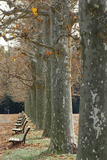 フランス庭園のプラタナス並木