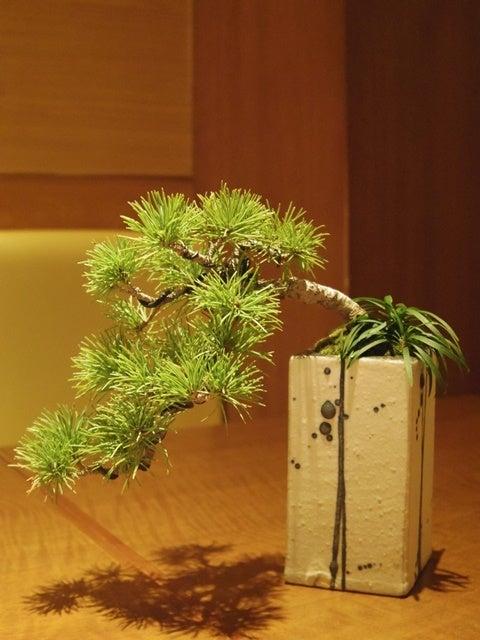 琳葉盆栽 五葉松