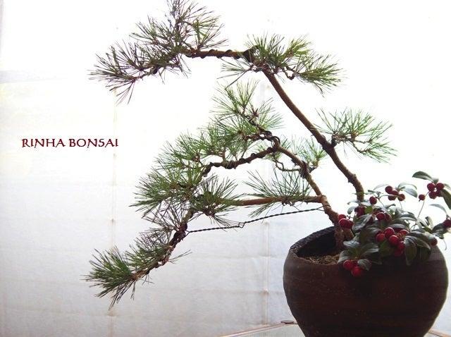琳葉盆栽 赤松 寄せ植え