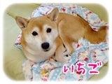 柴犬ひかりといちご のんびり日記-いちご