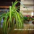 観葉植物の株分け