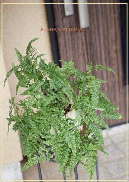 琳葉盆栽 シノブ