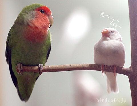 文鳥とコザクラインコ