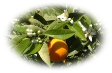 $アロマで癒しのひととき♪荻窪の隠れ家サロン-ドルチェディアロマ-Orange sweet
