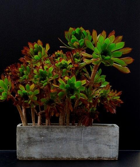 琳葉盆栽 クロホウシ