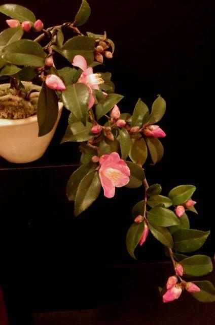 琳葉盆栽 椿