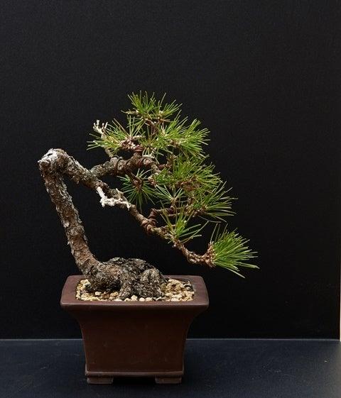 琳葉盆栽 黒松