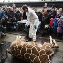 動物園でキリン解体