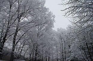 雪化粧した樹齢約450年のイチョウの木