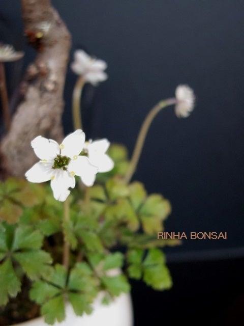 バイカオウレン 琳葉盆栽