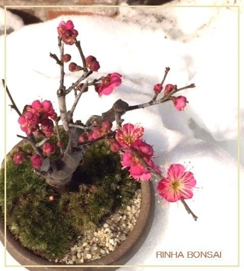 琳葉盆栽 梅 大盃