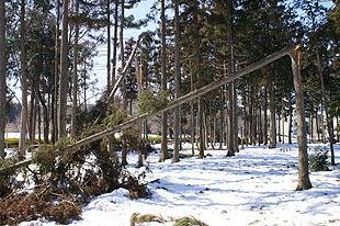 大雪の影響で木々が折れてしまっておりました
